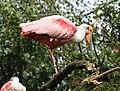 Rosalöffler im Weltvogelpark Walsrode 2H1A8741WI.jpg