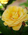 Rose, Arthur Bell, バラ, アーサー ベル, (14112059087).jpg