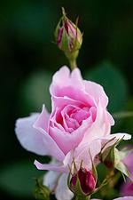 Rose, Carefree Wonder - Flickr - nekonomania (3).jpg