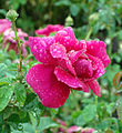 Rose The Dark Lady ザ ダーク レディ (4996087062).jpg