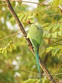 Rose ringed parakeet ( Psittacula krameri) മോതിര തത്ത , നാട്ടു തത്ത 4.jpg