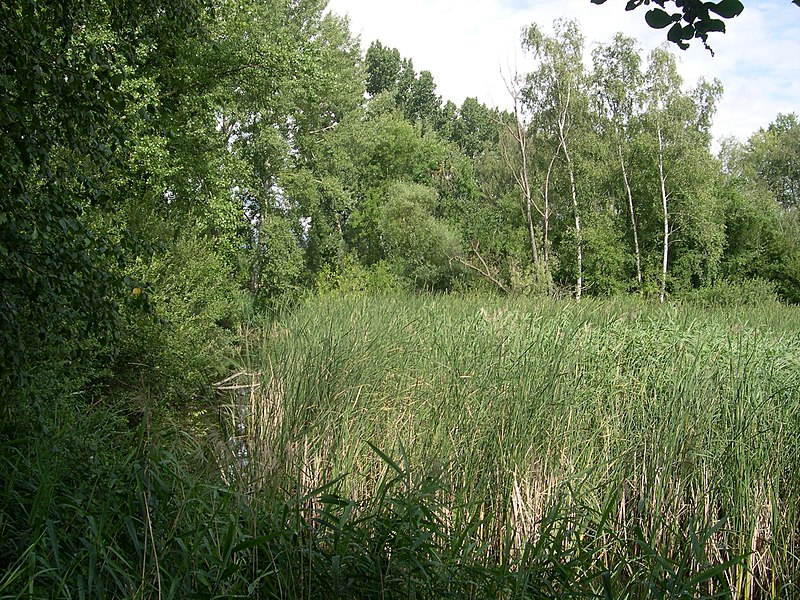 Roselière à l'étang de Haute-Jarrie