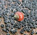 Rough Periwinkle (Littorina saxatilis).jpg
