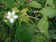 Rubus-caesius-flower.JPG