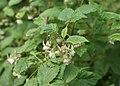 Rubus idaeus kz03.jpg
