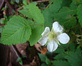 Rubus rosifolius, flower of the Roseleaf Bramble. (11348335646).jpg