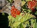 Rubus saxatilis 002.jpg