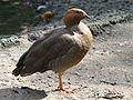 Ruddy-headed (Chloephaga rubidiceps) RWD.jpg