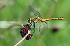 Ruddy Darter (Sympetrum sanguineum) female.jpg
