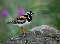 Ruddy Turnstone (3).jpg