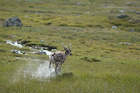 Reindeer running over wet mountain terrain in Jämtland Sweden