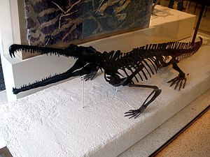 Rutiodon - Skeleton of Rutiodon carolinensis (AMNH 1) in the American Museum of Natural History