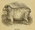 Ryeland sheep ewe.jpg