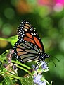 SABot Monarch 5 (6201126891).jpg