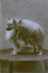 A greyscale photo of a small fluffy pomeranian looking to the left.