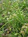 Sagina procumbens fruit (05).jpg