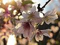 SakuraBern1.jpg