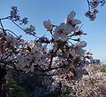 Sakura at Maizuru Park 06.jpg