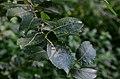 Salix caprea (8456013657).jpg