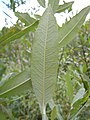 Salix lemmonii (5027512514).jpg
