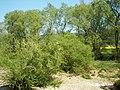 Salix viminalis 006.jpg
