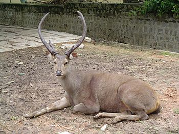 Sambar deer with thick, forked beams for antlers.