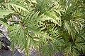 Sambucus racemosa 'Sutherland Gold' Leaf 3008px.JPG