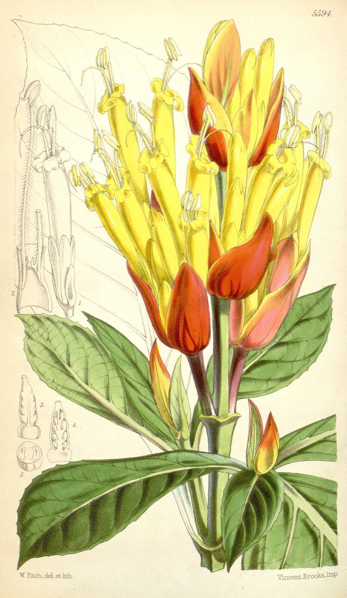 Sanchezia Oblonga Wikispecies