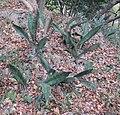 Sansevieria - Mazeze spoon type 1 (8193539552).jpg