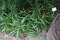 Sansevieria parva - Botanischer Garten, Dresden, Germany - DSC08552.JPG