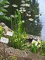 Sarracenia flava01.jpg