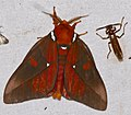 Saturniid Moth (Schausiella polybia) (26156239187).jpg