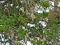 Sausage Tree (Kigelia africana) fruits (11530898384).jpg