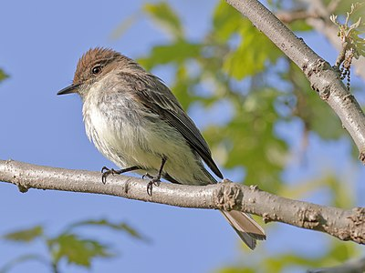 Eastern phoebe (Sayornis phoebe), Owen Conservation Park, Madison, Wisconsin