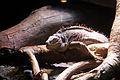 Scaley lizard.jpg