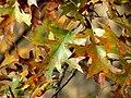 Scarlet Oak (31133054966).jpg