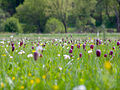 Schachbrettblumen Sinnwiesen 3.jpg