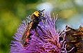 Scolie des jardins (Megascolia maculata) , Lit-et-Mixe, Aquitaine, France (28915999076).jpg