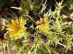 Scolymus hispanicus flowers.jpg