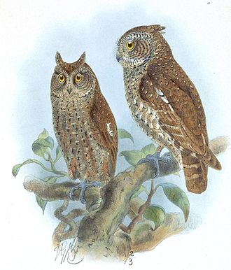 Andaman scops owl - Image: Scops Balli Keulemans