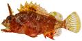 Scorpaena grandicornis - pone.0010676.g041.png