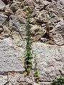 Scrophularia peregrina sl3.jpg