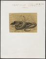 Scytale coronata - 1700-1880 - Print - Iconographia Zoologica - Special Collections University of Amsterdam - UBA01 IZ11900159.tif