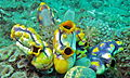 Sea Squirts (Polycarpa aurata) (8470388307).jpg