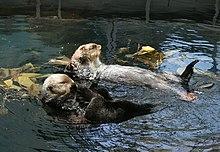 Sea otters at the Lisbon Oceanarium show their flexibility when grooming.