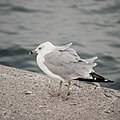 Seagull, Chicago (32301394511).jpg
