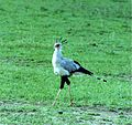 Secretary bird in tanzania.jpg