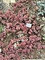 Sedum guatemalense - Botanischer Garten Freiburg - DSC06333.jpg