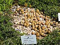 Sempervivum ballsii - Botanischer Garten München-Nymphenburg - DSC07667.JPG