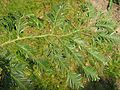 Sequoia sempervirens needles by Line1.jpg